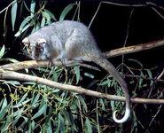 Ring Tail Possum Pseudocheirus peregrinus