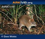 Long-footed-potoroo (1)