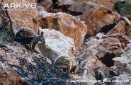 Brush-tailed-rock-wallabies