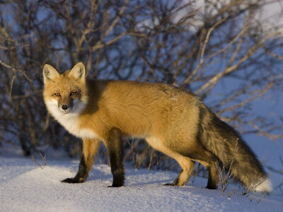 Milse-thorsten-redfox-vulpes-vulpes-churchill-hudson-bay-manitoba-canada.jpg