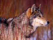 Lobo-gris.jpg