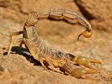 Escorpión común