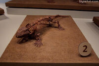 Seymouria amphibian fossil.jpg