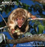 Common-spotted-cuscus-feeding