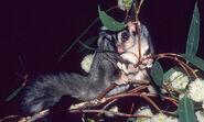 Vic-squirrelglider-large