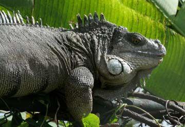 Iguana facts.jpg