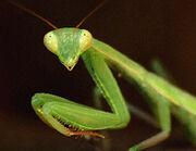 Mantis religiosa.jpg