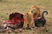 Male Lion and Cub Chitwa South Africa Luca Galuzzi 2004.jpg