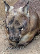 Lasiorhinus latifrons Southern hairy-nosed wombat captive Brisbane, Australia-2761 low res