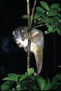 Pseudochirops-archeri.green-ringtail-possum.bt-pseuarch