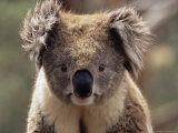 James-hager-koala-bear-phascolarctos-cinereus-phillip-island-victoria-australia-pacific
