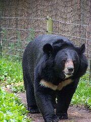 220px-Black bear.jpg