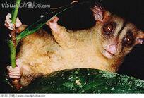 Woolly Opossum Caluromys philander is well adapted 091303.jpg