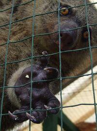 570px-Ailurops ursinus Naemundung 5 North Sulawesi cropped.jpg