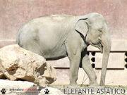 2611080310 elefante asiatico 2.jpg