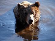 1808080514 oso pardo.jpg
