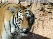 2608080202 panthera-tigris2.jpg