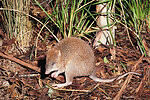 297462-long-footed-potoroo-potorous-longipes-australia-endangered