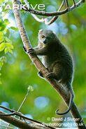 Adult-bear-cuscus