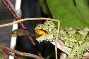 1601121202 camaleon macho.jpg