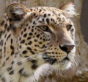 1501090339 leopardo persa 211.jpg