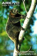 Bear-cuscus-climbing-a-tree