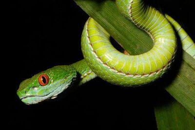 Vibora verde de ojos de rubi.jpg