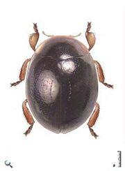 Microscymnus sp1.jpg