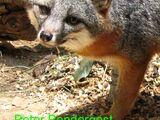 Zorro isleño o zorro gris de las islas