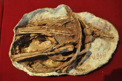 28-Sinornithoides 5-L.jpg