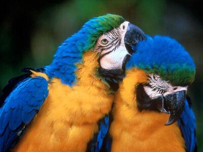 Papagayos pareja.jpg