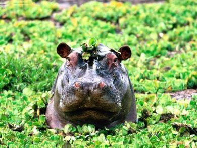 Animals-Hippopotamus Peek-a-boo-Hippopotamus.jpg