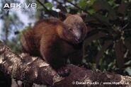 Dorias-tree-kangaroo-portrait