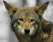 0810080524 lobo rojo2.jpg