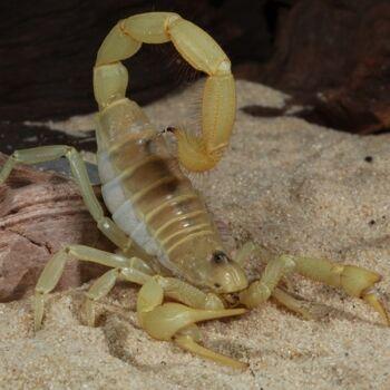 Hadrurus-arizonensis-amarillo.jpg