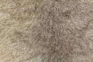 7415472-a-closeup-of-the-fur-of-an-australian-green-ringtail-possum-pseudochirops-archeri
