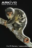 Common-spotted-cuscus-on-branch (1)