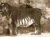 Tigre persa (Panthera tigris virgata)
