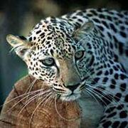 3110080650 leopardoarabe99.jpg