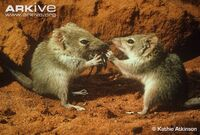 Two-crest-tailed-mulgaras-manipulating-food-in-hands-and-eating-cricket.jpg