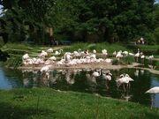 800px-Zoo Basel flamingos breeding.jpg