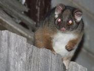 Pseudocheirus peregrinus (Possum on fence, with flash)