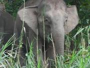 Elefante pigmeo.png