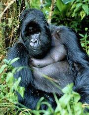 1808080139 gorila.jpg