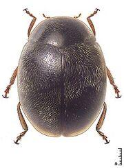 Scymnus demerarensis.jpg