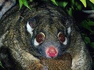 Sp green ringtail possum 5164