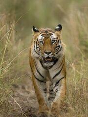 2901090458 tigre bengala 3 thl.jpg