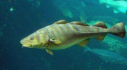 Gadus morhua Cod-2b-Atlanterhavsparken-Norway.jpg