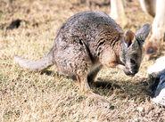 Macropus eugenii, Tammar wallaby 2 captive