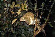 250px-Possum vert
